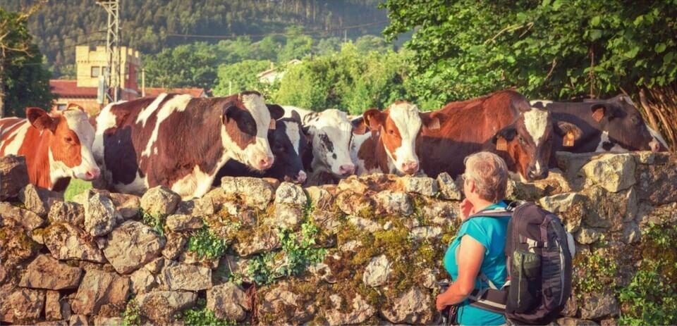Pellegrina guarda delle mucche